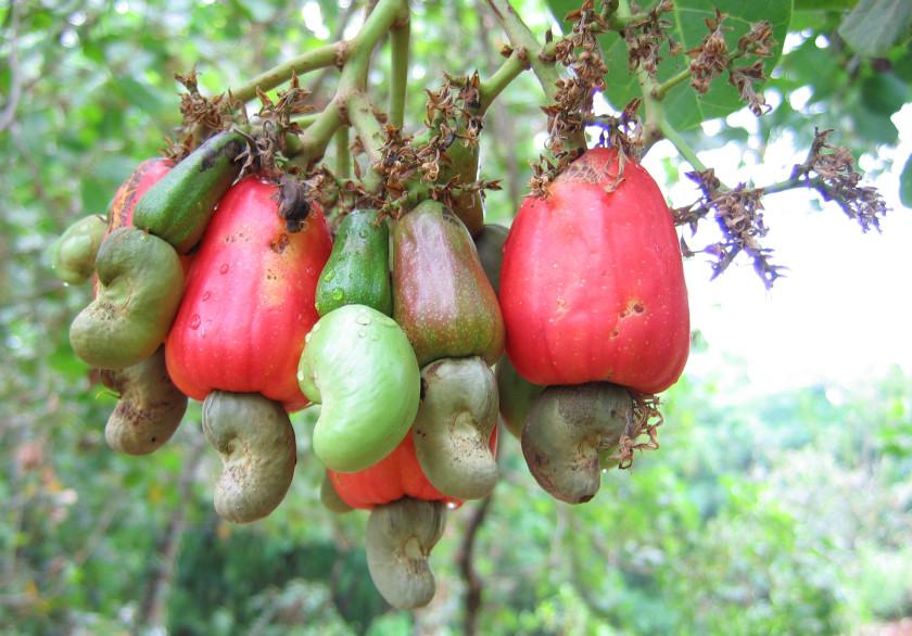cashew apple tree